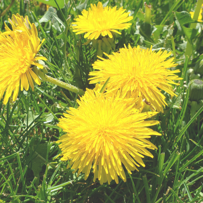 Skin Care Benefits of Dandelion
